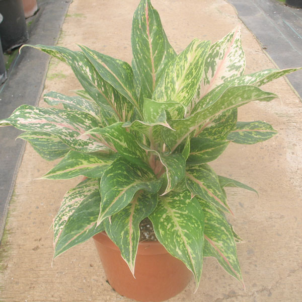 Philodendron emerald red