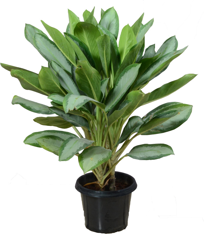 Aglaonema Plants